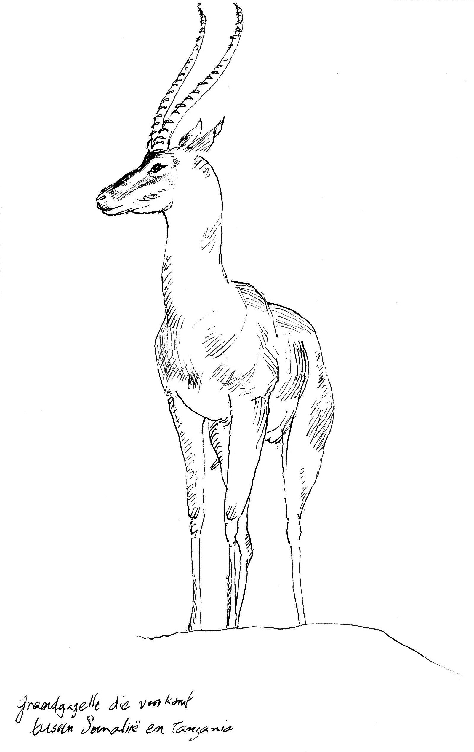 gazelle coloring pages for kids - photo#19