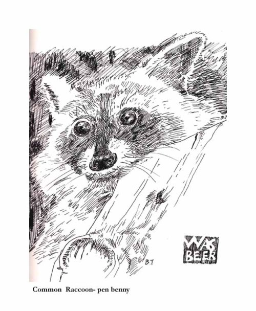 Common Raccoon-pen
