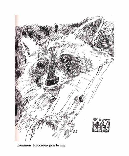 Common Raccoon-pen