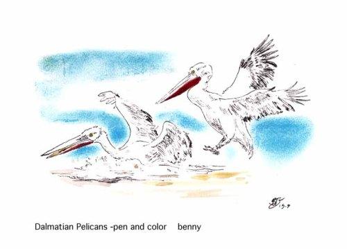 Dalmatian Pelicans-touch down