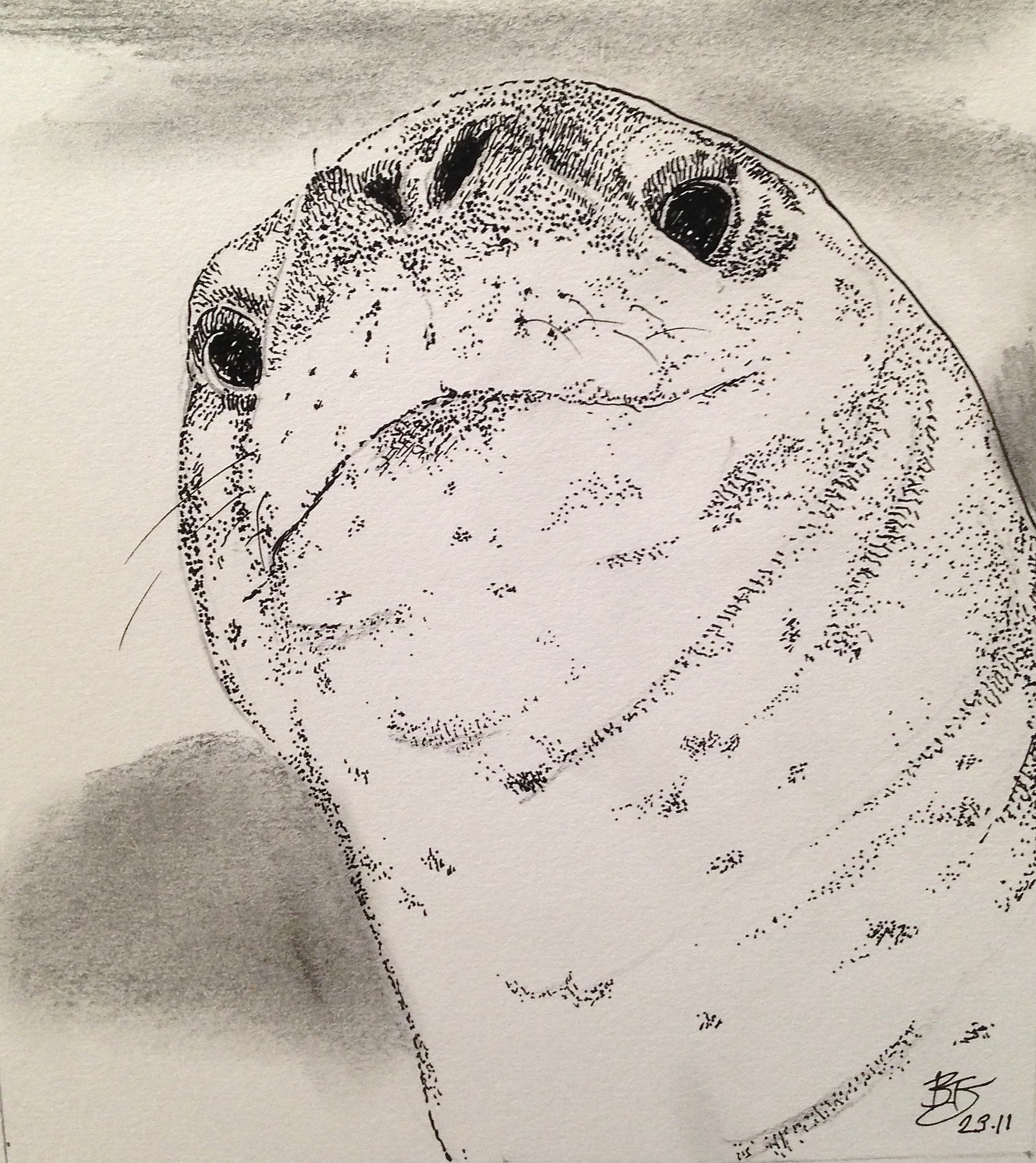 Peeking Leopard Seal-pen drawing | Bennythomas\'s Weblog