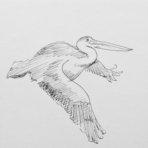 pelikaan in flight